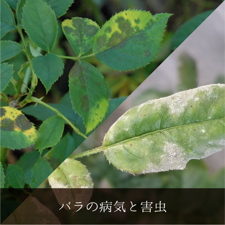 バラの病気と害虫について詳しく解説します