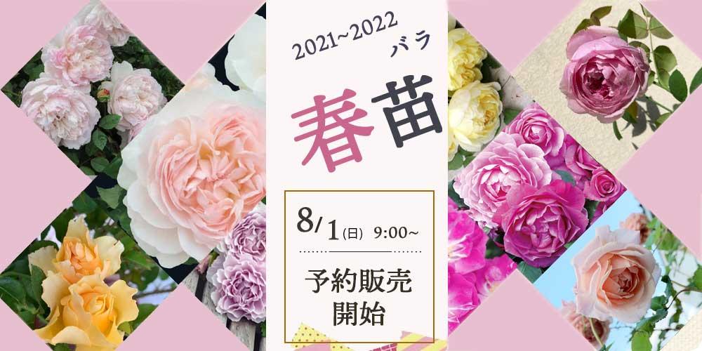 2021年京阪園芸 バラ苗 春苗(新苗)販売
