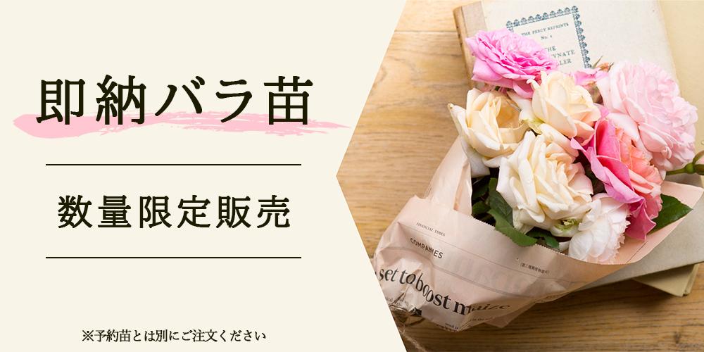 京阪園芸の即納バラ苗