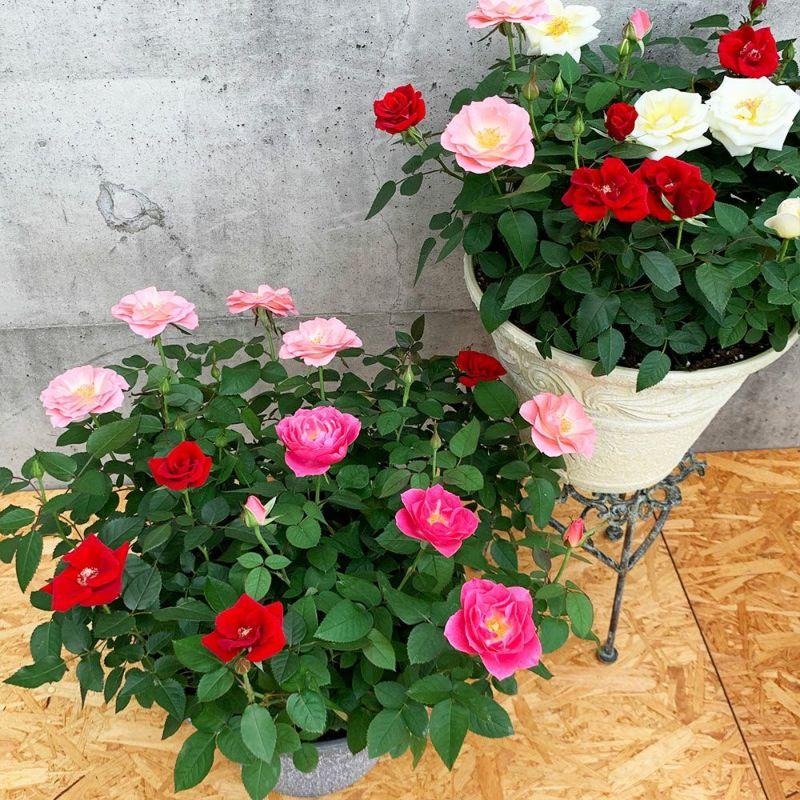 【 ミニバラ 】 送料込 「ウェルター」 かわいいバラの鉢植え 花色が選べる プレゼント ギフト