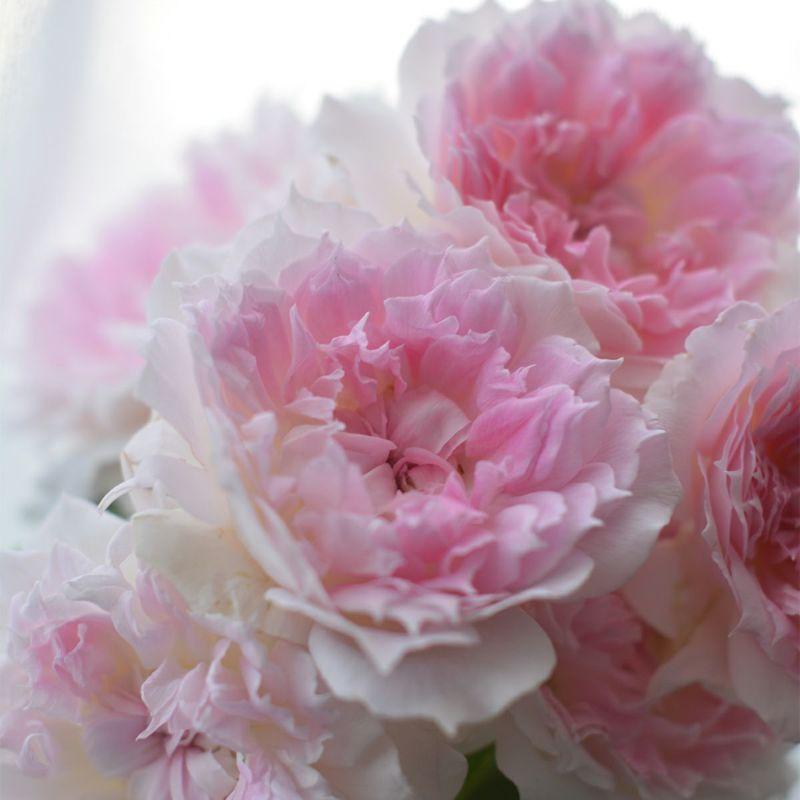 バラ 「アジュール」秋苗 ピンク 四季咲 河本バラ園 ブランドローズ バラ苗 薔薇 (202108)