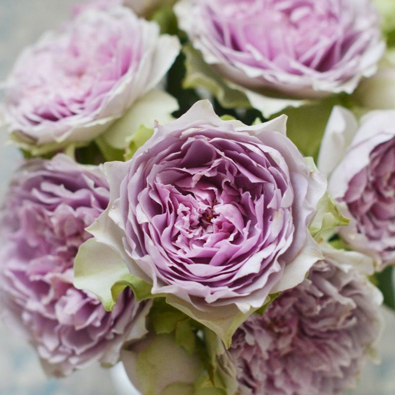 バラ 「コフレ」秋苗 紫 四季咲 河本バラ園 ブランドローズ バラ苗 薔薇 (202108)