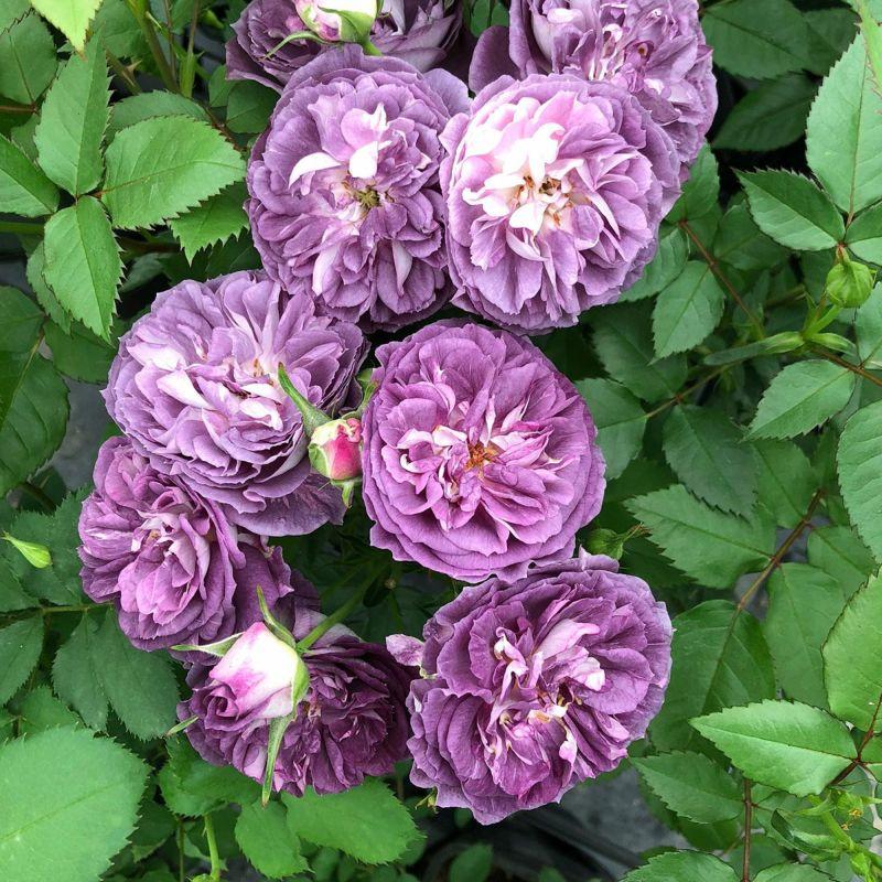 バラ 「リナルド」秋苗 紫色 四季咲 河本バラ園 ブランドローズ バラ苗 薔薇 (202108)
