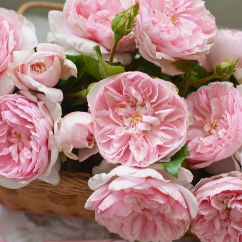 バラ 「リュバン」秋苗 ピンク 四季咲 河本バラ園 ブランドローズ バラ苗 薔薇 (202108)